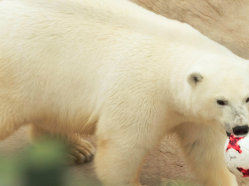Russia to defeat Portugal - Nika the psychic polar bear predicts the Confederations Cup